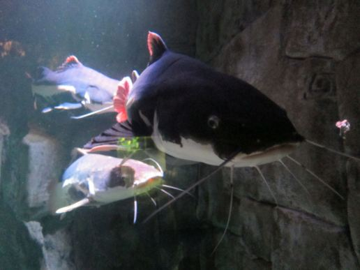 I wish I was a catfish