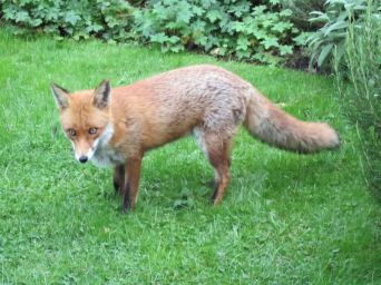 Andy and Caron's pet fox