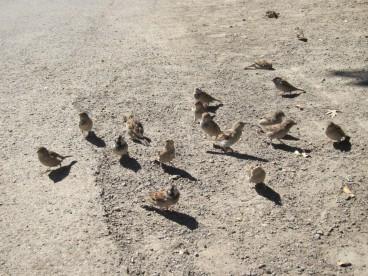 Sparrows begin for scraps