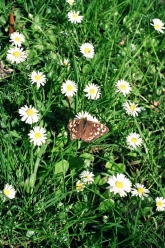 A moth on carpet of daisies.