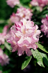 A macro shot of rhododendron taken with the Pentax