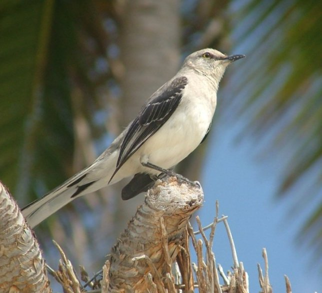 The tropical mockingbird was one of the bravest birds and allowed you to get quite close to it, or it would land close to you.