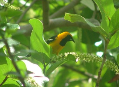The Hooded Oriole was by far the most stunningly coloured bird we saw.
