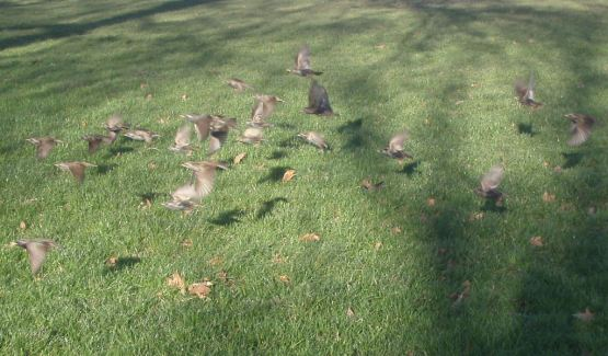 A flock of starlings (Regents Park)