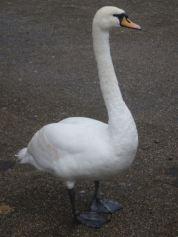 Windsor Swan