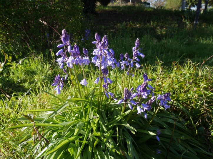 Bluebells in L'Head