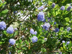 Bees on the California Lilac