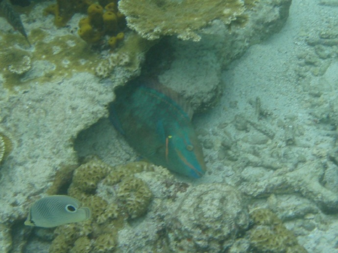 Stoplight Parrotfish (with Foureye Butterflyfish in the bottom left)