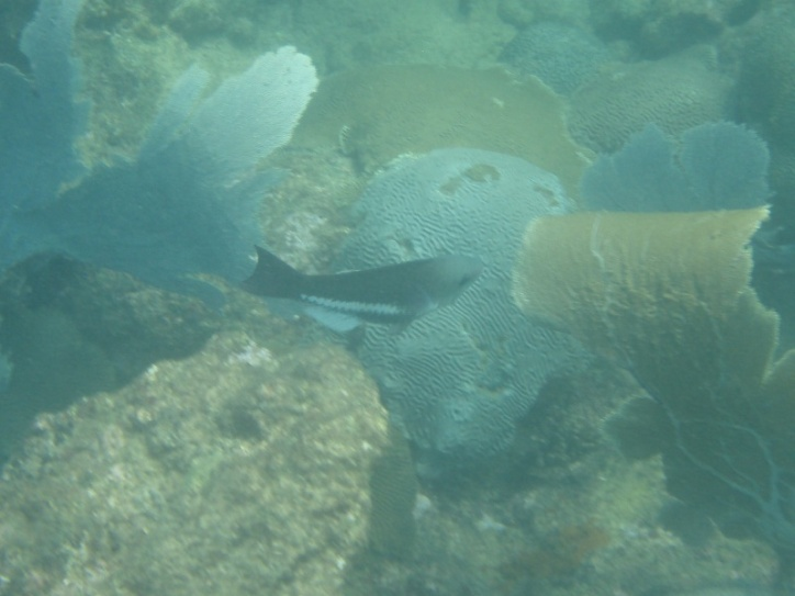 Queen Parrotfish (initial phase)