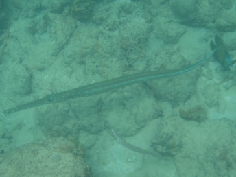 Bluespotted cornetfish. This is about 5 or 6 feet long - note the size compared to the regular Trumpetfish (foreground) and the French Angelfish (right).