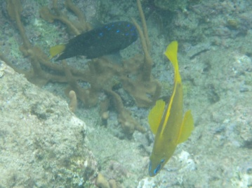 Golden hamlet in the foreground. Yellowtail damselfish in the background.
