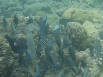 Trumpetfish matching colour with a school of surgeonfish
