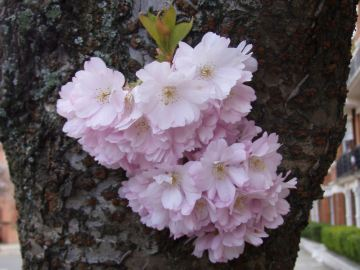 Cherry blossom outside our front door