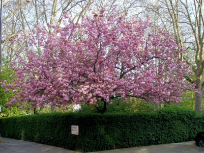 Cherry Blossom on Morehead Road
