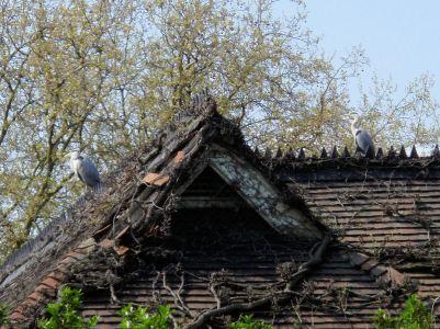 Herons @ London Zoo
