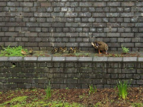 Ducklings on Regents Canal