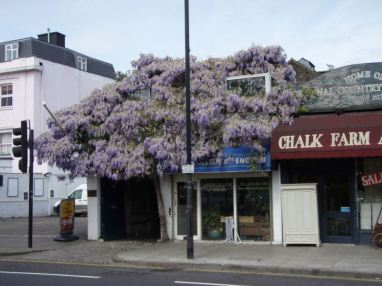 The biggest wisteria in the world @ Chalk Farm
