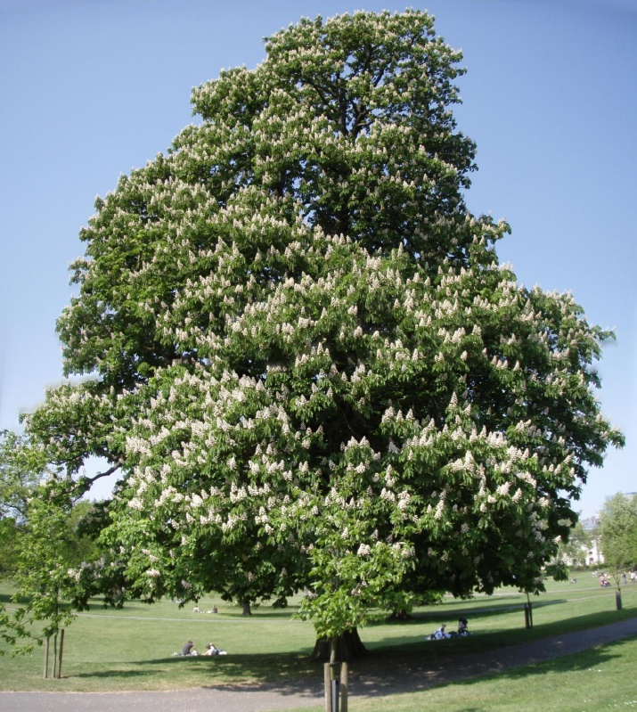 All the chestnut trees are in blossom.