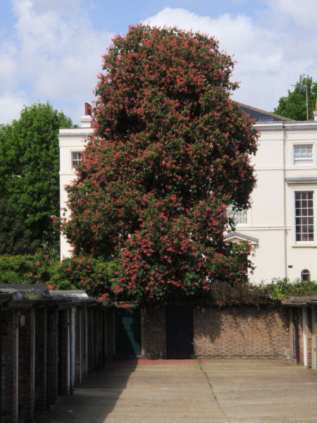 Chestnut tree on the way to the cavalcade