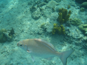 We think this is a Creolefish, which is a type of bass