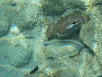 Sharptail snake eel