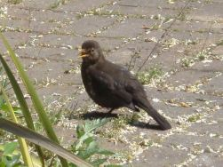 Young blackbird in Regents Park