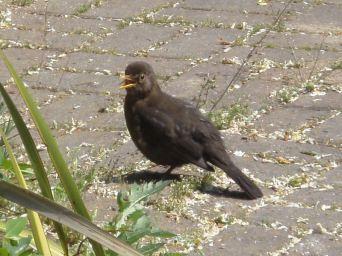 Young blackbird in Regents Park