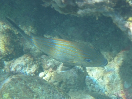 Bluestriped grunt