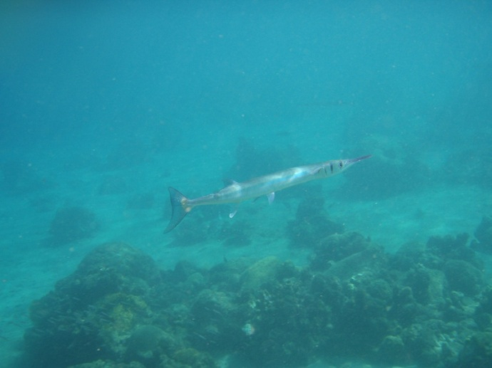Needlefish