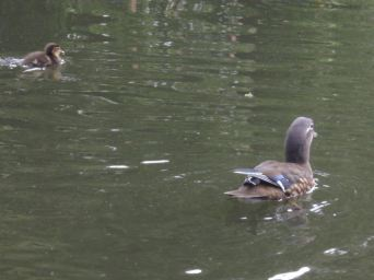 Now that's a duckling!