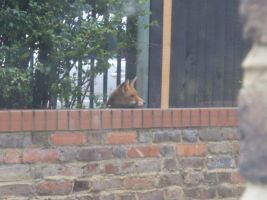 A Fox outside our back window