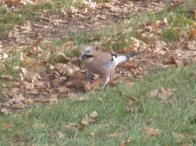 Eurasian Jay carrying something