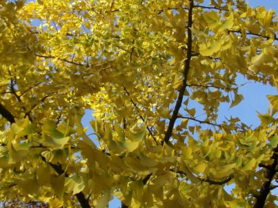 Yellow Ginko @ Paddington Recreation Ground