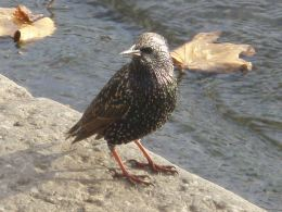 Starling @ Hyde Park