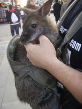 Kangaroo in Camden.