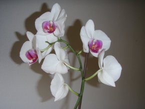 My Orchid (a Valentines Day gift 3 years ago)