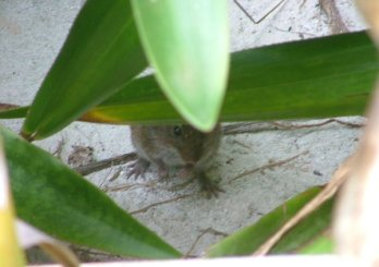 This cute little rat type thing (possibly a rat) lived just outside the villa.