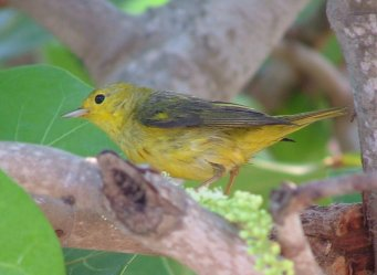 "Several different races of Yellow Warbler (Dendroica Petechia) visited the same tree outside the villa. This group is called the ""Yellow Warbler"", aestiva, group."
