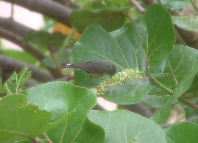 Not sure if this is another race of Yellow Warbler or a Slate-throated Redstart.