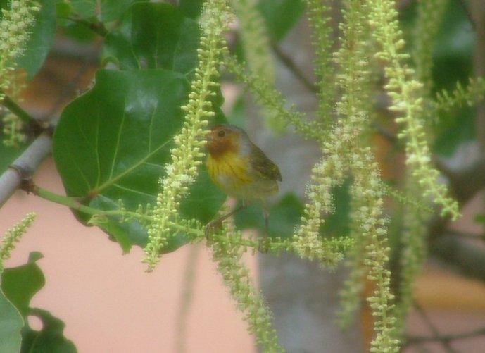 Mangrove Warbler