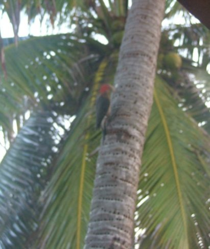 Sorry, not in focus, but its a woodpecker with a red crown....possibly Woody?