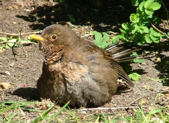 youngblackbird