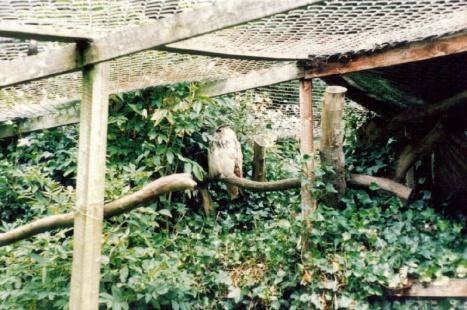 Iranian owl