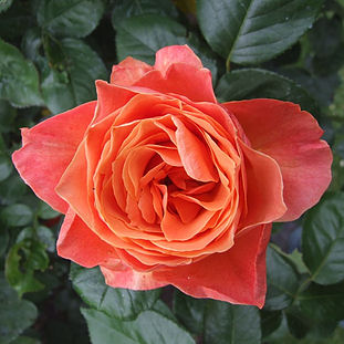 2008 - Regent's Park roses thumb