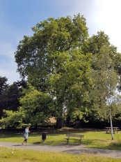 Large plane tree in Leatherhead