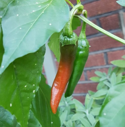 Peppers are starting to ripen!