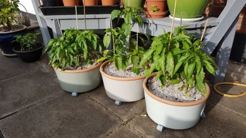 Pepper plants out of greenhouse