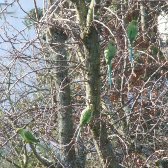Four Parakeets in a Pear Tree
