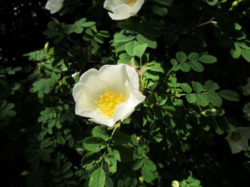 Pad Rec flower