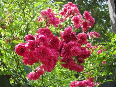 17 Roses in Pad Rec